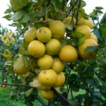 Bergamotto: proprietà del succo su colesterolo e trigliceridi