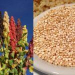 La Quinoa, priva di glutine e con innumerevoli proprietà nutrizionali