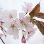 Le ciliegie, impariamo ad apprezzarle ed utilizzarle in tutte le sue parti